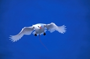 red-tailed-tropicbird-picture;red-tailed-tropicbird;red-tailed-tropicbird;red-tailed-tropic-bird;pha