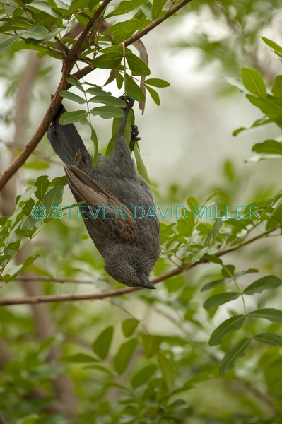 apostlebird;apostle bird;struthidea cinerea;cania gorge national park