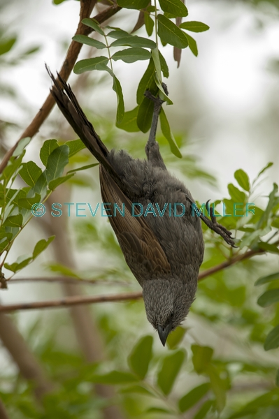 apostlebird;apostle bird;struthidea cinerea;cania gorge national park