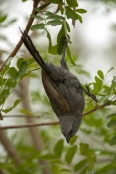 apostlebird;apostle-bird;struthidea-cinerea;cania-gorge-national-park