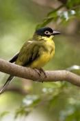 australasian-figbird-picture;australasian-figbird;yellow-figbird;sphecotheres-vieilloti;figbird-flav