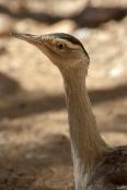 australian-bustard;ardeotis-australis;alice-springs-desert-park