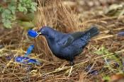 bowerbirds;australian-bowerbirds