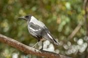 black-and-white-bird