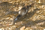 pied-butcherbird-picture;pied-butcherbird;pied-butcher-bird;cracticus-nigrogularis;bird-and;lizard;j