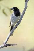 pied-butcherbird-picture;pied-butcher-bird;cracticus-nigrogularis;butcher-bird-in-tree;bird-in-tree;