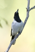 pied-butcherbird-picture;pied-butcher-bird;cracticus-nigrogularis;butcher-bird-calling;bird-calling;