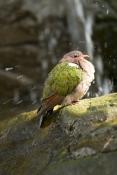 bird-bathing;green-bird;green-winged-bird