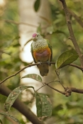 rose-crowned-fruit-dove-picture;rose-crowned-fruit-dove;rose-crowned-fruit-dove;ptilinopus-regina;fr