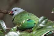 wompoo-fruit-dove-picture;wompoo-fruit-dove;wompoo-fruit-dove;wompoo-pigeon;ptilinopus-magnificus;ra