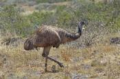 emu-picture;emu;emu-standing;endemic-australian-bird;big-bird;dromaius-novaehollandiae;emu-portrait;
