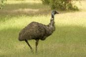 big-bird;australian-big-bird;australian-national-parks