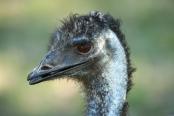 big-bird;australian-big-bird