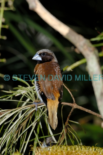 chestnut-breasted mannikin picture;chestnut-breasted mannikin;chestnut breasted mannikin;mannikin;australian mannikin;finch;australian finch;brown finch;the australia zoo;queensland;steven david miller;natural wanders
