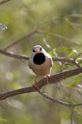 long-tailed-finch-picture;long-tailed-finch;long-tailed-finch;poephila-acuticauda;australian-finch;a