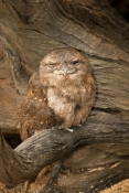 papuan-frogmouth-picture;papuan-frogmouth;frogmouth;podargus-papuensis;australian-frogmouth;australi