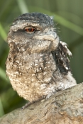 papuan-frogmouth;frogmouth;podargus-papuensis;australian-frogmouth;australian-bird;cape-york-bird;fr