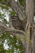 tawny-frogmouth;podargus-strigoides;camoflage;camouflage