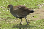 tasmanian-native-hen-picture;tasmanian-native-hen;native-hen;australian-hen;bruny-island;tasmanian-h
