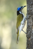 blue-faced-honeyeater;entomyzon-cyanotis;cania-gorge-national-park;blue-eye;blue-face;green-feathers