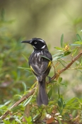 new-holland-honeyeater-picture;new-holland-honeyeater;new-holland-honey-eater;honeyeater;australian-