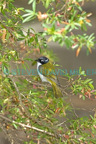 white-naped honeyeater picture;white-naped honeyeater;white naped honeyeater;white naped honey eater;honeyeater;honeyeater in tree;australian honeyeater;gloucester national park;western australia;melithreptus lunatus;steven david miller;natural wanders