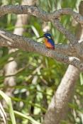 azure-kingfisher-picture;azure-kingfisher;river-kingfisher;alcedo-azurea;corroboree-billabong;mary-r