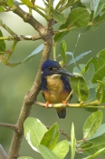 azure-kingfisher-picture;azure-kingfisher;kingfisher;australian-kingfishers;australian-wet-tropics;d