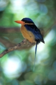buff-breasted-paradise-kingfisher-picture;buff-breasted-paradise-kingfisher-picture;buff-breasted-pa