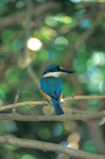 collared-kingfisher-picture;collared-kingfisher;australian-collared-kingfisher;australian-kingfisher