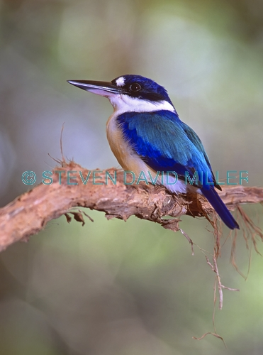 forest kingfisher picture;forest kingfisher;tree kingfisher;australian kingfisher;kingfisher;halcyon macleayii;kingfisher on tree branch;kingfisher with blue feathers;bird with beautiful feathers;beautiful bird;wildlife habitat;rainforest habitat;port douglas;pt douglas;north queensland;birds of the top end;birds of north queensland;steven david miller;natural wanders