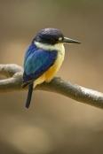 macleay's-kingfisher;blue-kingfisher