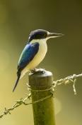 macleayrsquo;s-kingfisher;blue-kingfisher