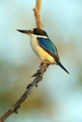 forest-kingfisher-picture;forest-kingfisher;tree-kingfisher;australian-kingfisher;male-kingfisher;to