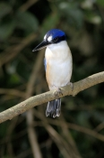 forest-kingfisher-picture;forest-kingfisher;tree-kingfisher;australian-kingfisher;todiramphus-maclea