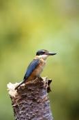 AUSTRALIA;BIRDS;KINGFISHERS;MALES;VERTEBRATES;VERTICAL;heron-island;sacred-kingfisher;todiramphus-sa