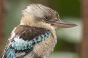 blue-winged-kookaburra-picture;blue-winged-kookaburra;blue-winged-kookaburra;kookaburra;australian-k