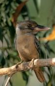 AUSTRALIA;BIRDS;BLUE;DACELO-LEACHII;KINGFISHERS;VERTEBRATES;VERTICAL