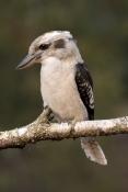 laughing-kookaburra-picture;laughing-kookaburra;kookaburra-on-branch;kookaburra-in-tree;kookaburra-p