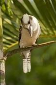 iconic-bird;iconic-australian-bird;iconic-bird;iconic-australian-bird;kookaburra;dacelo-novaeguineae