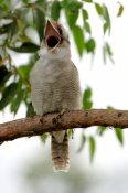 laughing-kookaburra-picture;laughing-kookaburra;kookaburra;kookaburra-in-tree;kookaburra-on-branch;k