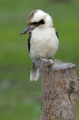 laughing-kookaburra-picture;kookaburra;laughing-kookaburra;australian-kookaburra;dacelo-novaeguineae