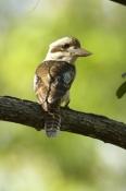 laughing-kookaburra-picture;laughing-kookaburra;kookaburra;kookaburra-in-tree;kookaburra-on-branch;k