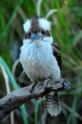 iconic-bird;iconic-australian-bird;australian-national-park;eye-contact