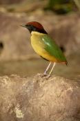 Noisy Pitta Bird