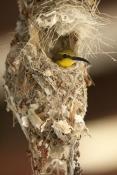 sunbird;olive-backed-sunbird;nectarinia-jugularis;sunbird-at-nest;sunbird-on-nest;campe-hillsborough