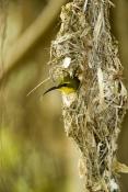 sunbird;olive-backed-sunbird;nectarinia-jugularis;sunbird-at-nest;sunbird-on-nest;hillsborough-natio
