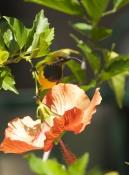 sunbird;olive-backed-sunbird;nectarinia-jugularis;bird-on-flower;sunbird-on-flower;bird-on-hibsicus;