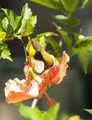sunbird;olive-backed-sunbird;nectarinia-jugularis;bird-on-flower;sunbird-on-flower;bird-on-hibsicus