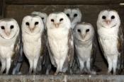 barn-owl-picture;barn-owl;owl;australian-owl;white-owl;tyto-alba;flock-of-owls;barn-owls;owls;group-